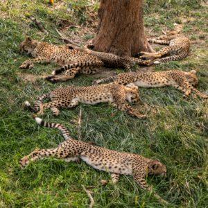 cheetahs sleeping